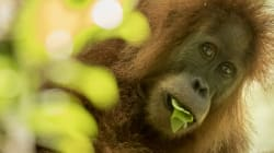A New Orangutan Species Has Been Discovered And It's Already