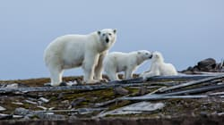 Près de 200 ours polaires massés sur une île à cause du réchauffement