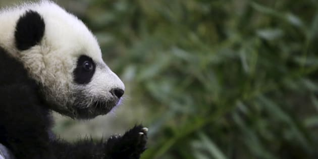 Giant Pandas have been moved from endangered to vulnerable after an estimated increase in their numbers.
