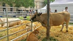 Des vaches et des fleurs en plein Paris pour
