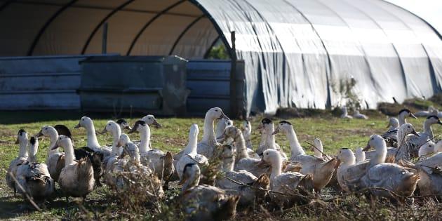 Ce coup dur pour le foie gras français ne pouvait pas plus mal tomber