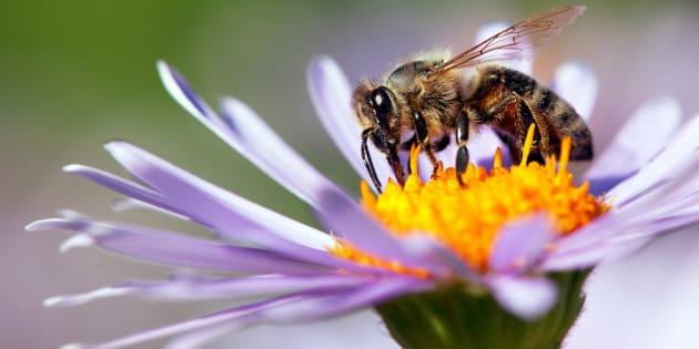 Les abeilles disparaissent et il est urgent d'agir: voici six plantes pour jardin et balcon, qui attireront les butineuses.