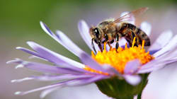 En ville ou en jardin, attirez les abeilles grâce à ces six plantes