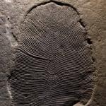 Científicos descubren fósiles del animal más antiguo de la