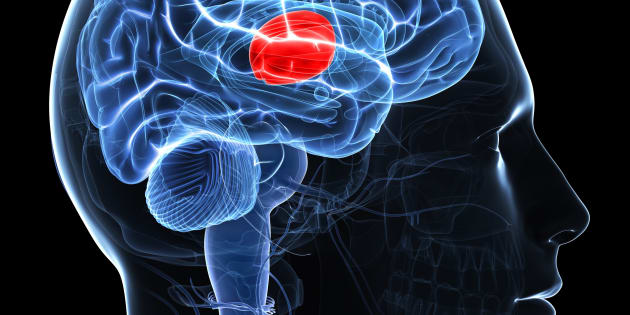 Thalamus. Computer artwork of the brain showing the thalamus (red), which processes sensory input and relays it to higher parts of the brain.