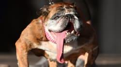 Le chien le plus laid du monde est