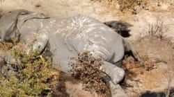 ゾウ90頭が殺害される。アフリカ最大の生息地ボツワナで史上最悪の大虐殺が繰り広げられた理由とは?