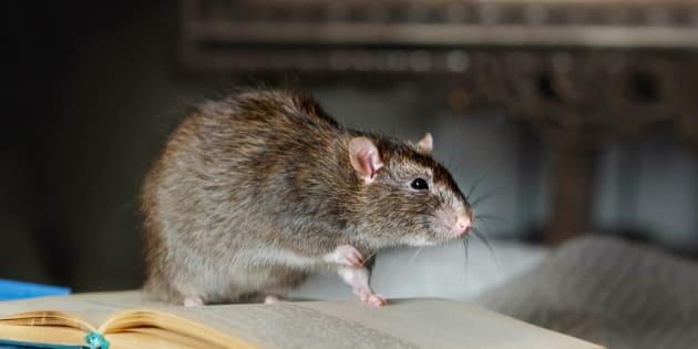 Le seul défaut du rat est sa courte durée de vie... Mais pendant cette vie bien remplie, on peut lui apprendre à danser, à faire des tours, ou a venir à l'appel de son nom.