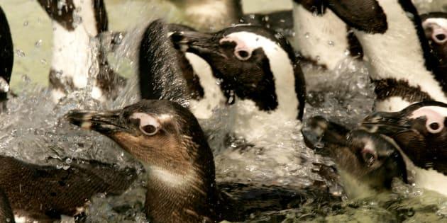 En Sudáfrica, Chile, Argentina, Australia y Nueva Zelandia son los países donde viven diferentes clases de pingüino.