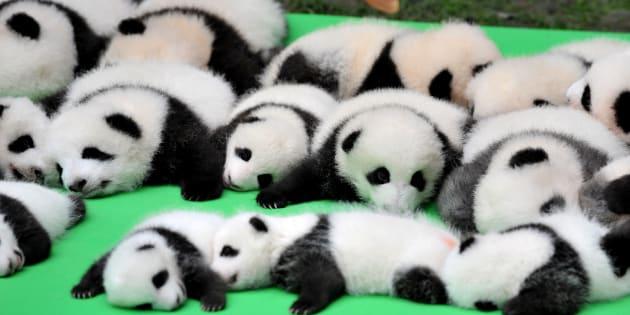 23 giant panda cubs walk into a bar...