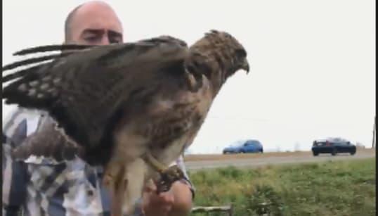 こまっタカ…。ボンネットから首が抜けなくなった鳥が救出された
