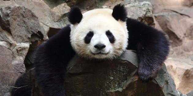 Des pandas perdent leurs tâches noires et personne ne sait pourquoi