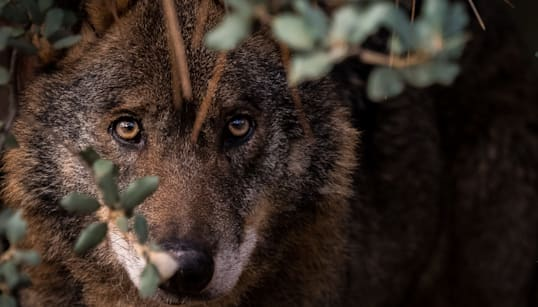 The Once Hated Wolf Could Now Save A Struggling