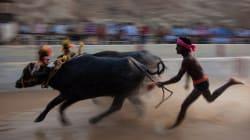 Now Siddaramaiah Seeks Centre's Favourable Response To Karnataka's Buffalo Racing Sport