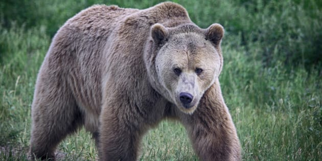 A grizzly bear with a beautiful thick coat walks in profile with head toward the viewer. The maximum fine for killing a grizzly bear in Alberta is $100,000.