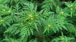 Herbe à puce ou herbe à poux ? Deux choses à