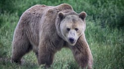 Alberta Man Lands $13K Fine For Killing Collared Grizzly