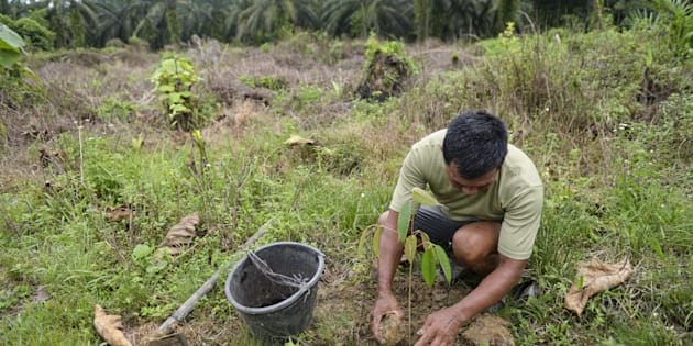 This photo taken on August 6, 2017 shows a worker from the Leuser Conservation Forum or Forum Konservasi Leuser (FKL) replanting tree saplings as oil palm trees are seen in the background in the Aceh Tamiang area of Aceh province. FKL members cleared some 400 hectares of illegal palm oil trees within the Leuser Ecosystem area, home to endangered wildlife such as orangutans, Sumatran tigers and elephants.  / AFP PHOTO / CHAIDEER MAHYUDDIN        (Photo credit should read CHAIDEER MAHYUDDIN/AFP/Getty Images)