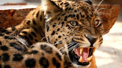 Leopard Mauls 4-Year-Old Girl To Death In Gujarat
