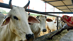 Journalism University In Bhopal To Build A Cow Shelter In Its