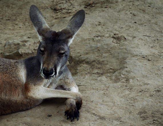 Zoo visitors kill kangaroo that wouldn't hop