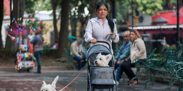 Una señora camina con sus dos perros de raza terrier en el jardín Hidalgo del centro de Coyoacán.