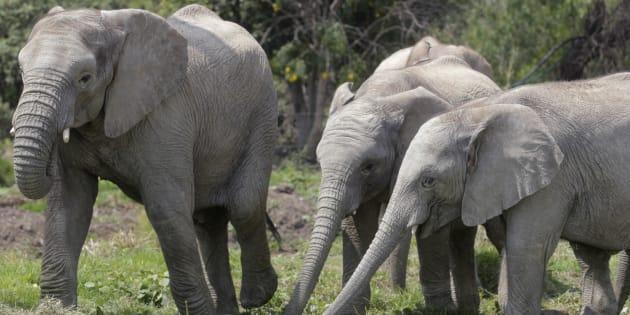 Un chasseur d'éléphant tué par un éléphant