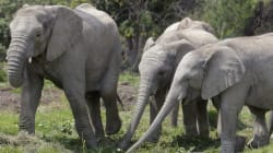 Un chasseur d'éléphants tué par un