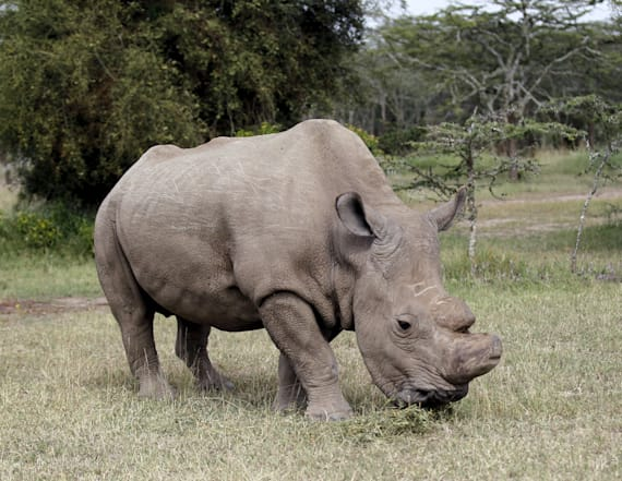 World's last male northern white rhino dies
