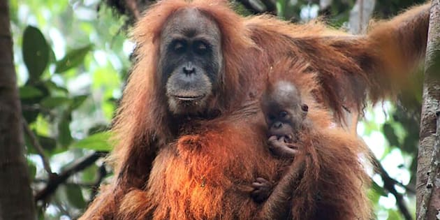 Le Tapanuli, la nouvelle espèce d'orang-outan découverte en Indonésie