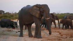Un chasseur meurt écrasé par l'éléphante qu'il