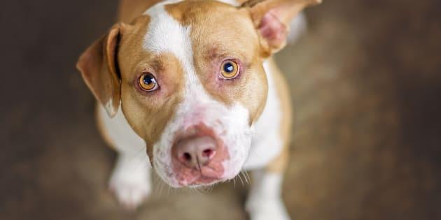L'attaque de Jade Champagne par un pitbull a relancé le débat sur l'interdiction de ces chiens. (Photo d'archives).