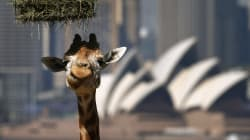 If We Don't Stick Our Neck Out For Giraffes, They Might Cease To