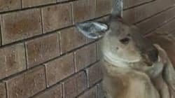 寝っ転がっているカンガルーがあまりにセクシーでネット驚愕(画像)