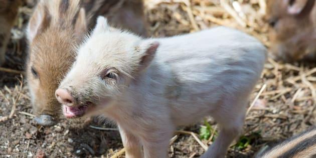 白い毛を持つイノシシの赤ちゃん「ブルノ」