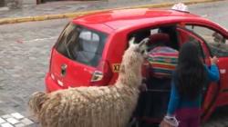 Un lama prend le taxi au
