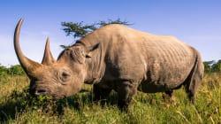 2017年、南アフリカのサイの密猟は減少するも、1,000頭が犠牲に