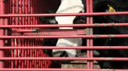 BLOGUE Manque de volonté flagrant d'application des lois en matière de bien-être animal au