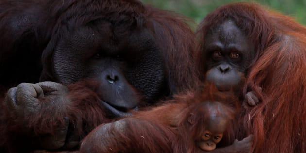 Les orangs-outans du zoo de Malaga en Espagne le 12 septembre 2016.