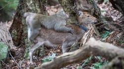 Cet accouplement entre un singe et une biche surprend les