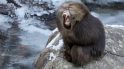 Si les singes parlaient, voici à quoi ressemblerait leur voix (heureusement ils ne parlent