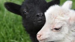 Ce logiciel reconnaît les moutons malheureux en les