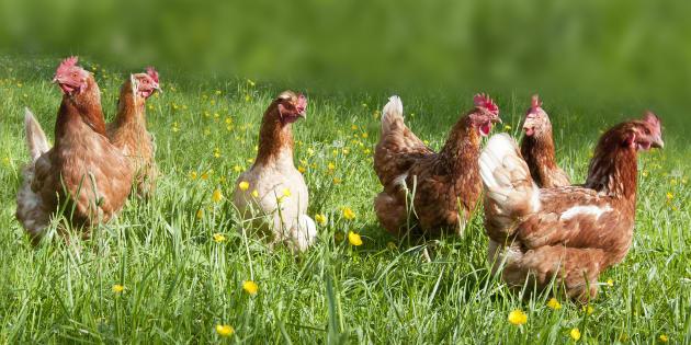 Coop, stop 'antibiotico-resistenza' da allevamento a scaffale