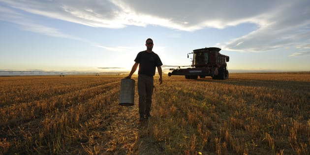 A worker carries an air filter during wheat harvest on a farm near Fort MacLeod, Alta., Sept. 26, 2011. Japan's government says it has halted sales of Canadian wheat after some unauthorized genetically modified wheat was discovered in southern Alberta.