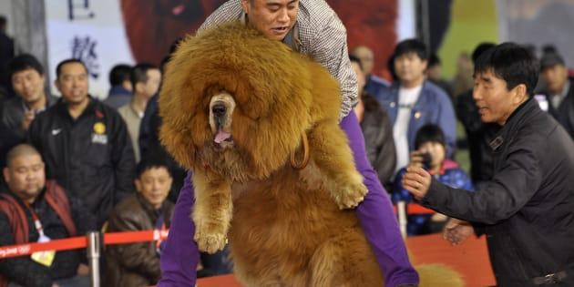チベット犬のコンテスト(中国・瀋陽 2012年3月12日)