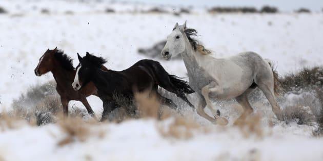 Il n'existe plus de chevaux sauvages sur Terre.