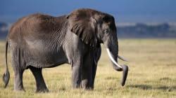Un cacciatore ucciso da un elefante in