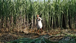 Sugarcane Farmers In UP Writes To PM Modi And Yogi Adityanath, Demanding