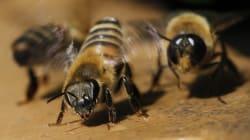 Les abeilles comprennent le concept de