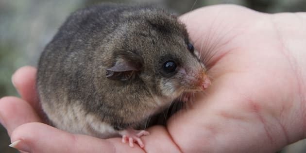 The mountain pygmy possum is so rare that until 1966 it was thought to be extinct.